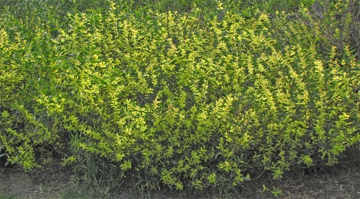 Acacia Longifolia Coast Wattle